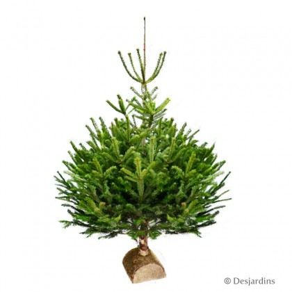 "Sapin naturel coupé ""Abies Nordmann"" - 125/150cm"