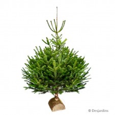 "Sapin naturel coupé ""Abies Nordmann"" - 100/125 cm"