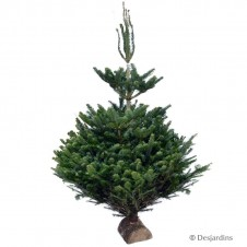 Sapin naturel coupé - Abies Nordmann - 150/175cm