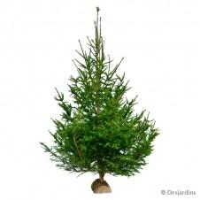 Sapin naturel coupé - Picea Excelsa - 150/200cm