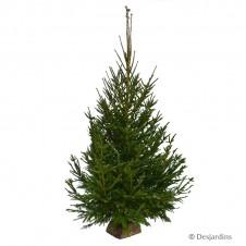 Sapin naturel coupé - Picea Excelsa - 250/300cm