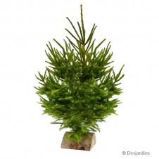 Sapin naturel coupé -  Picea Excelsa - 80/100cm