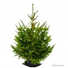 Sapin naturel en motte - Picea Excelsa - 100/125cm