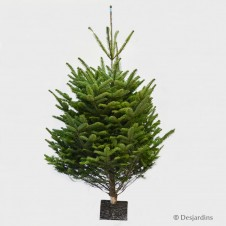 "Sapin naturel coupé ""Abies Nordmann"" - 225/250cm"