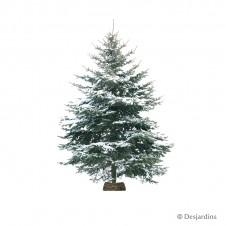 Sapin naturel flocké - Picea Excelsa - 90/100cm